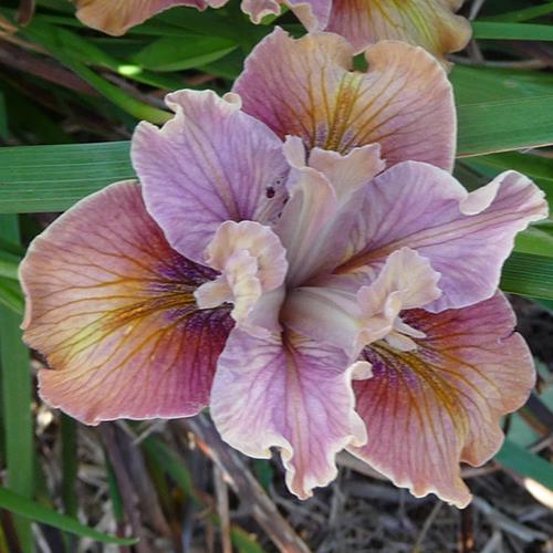 Iris Innominata Brown Paper