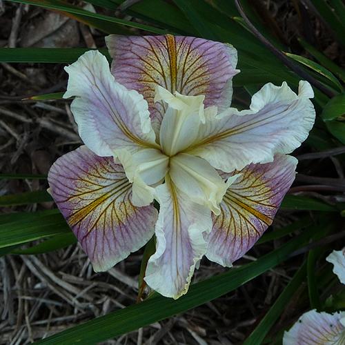 Iris Innominata Lace-Me-Up