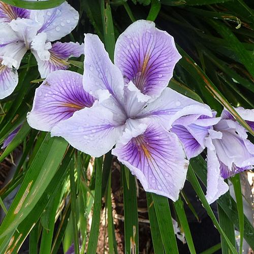 Iris Innominata Violet Ice