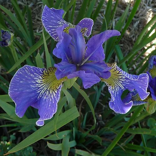 Iris sibirica Eunice