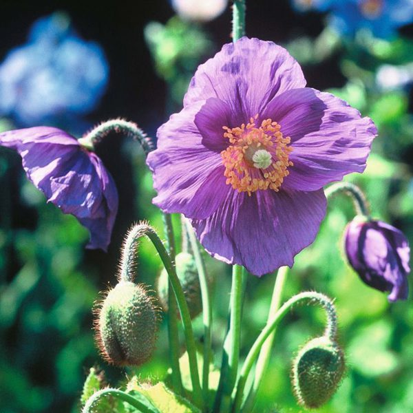 Meconopsis baileyi Hensol Violet    Meconopsis baileyi Hensol Violet