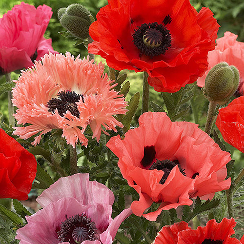 Papaver orientale Selected Mixed